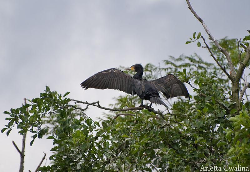 kormoran na drzewie w Rucianem Nidzie