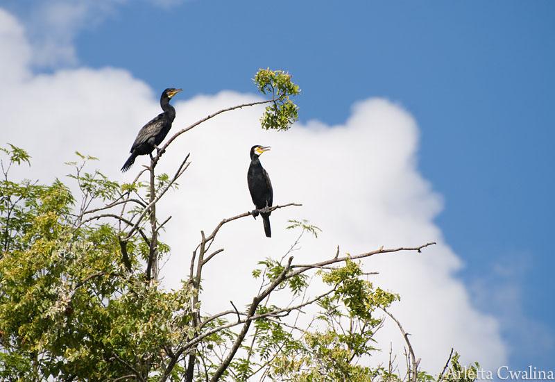 kormorany na drzewie w Rucianem Nidzie