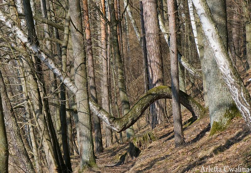 drzewa w Rucianem Nidzie