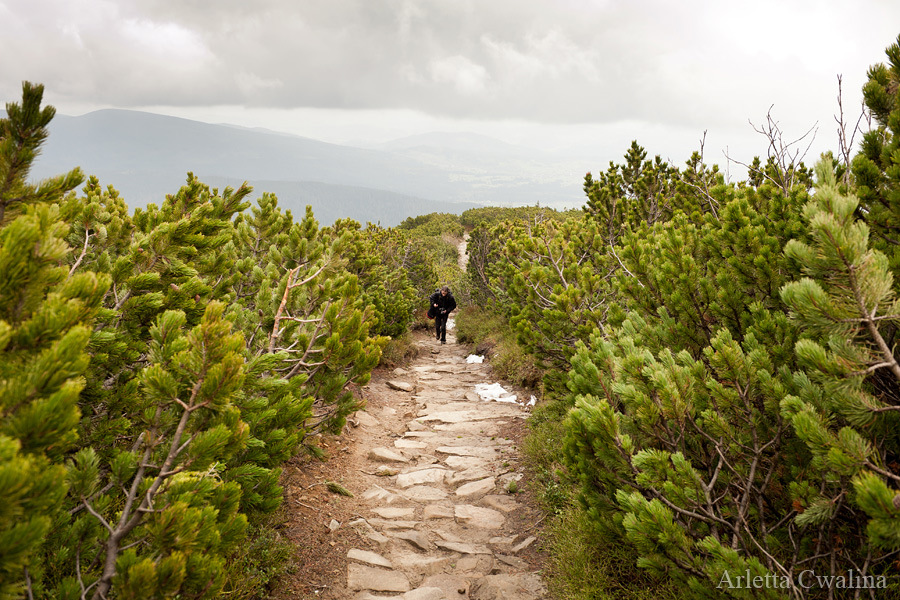 kosodrzewiny na szlaku na szczyt Babia Góra