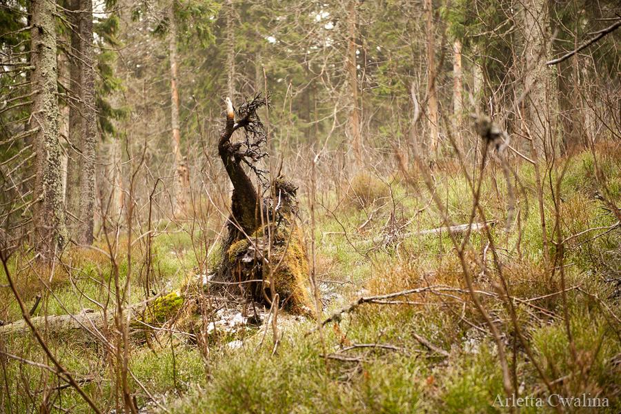 pomniki przyrody w drodze na szczyt Babia Góra