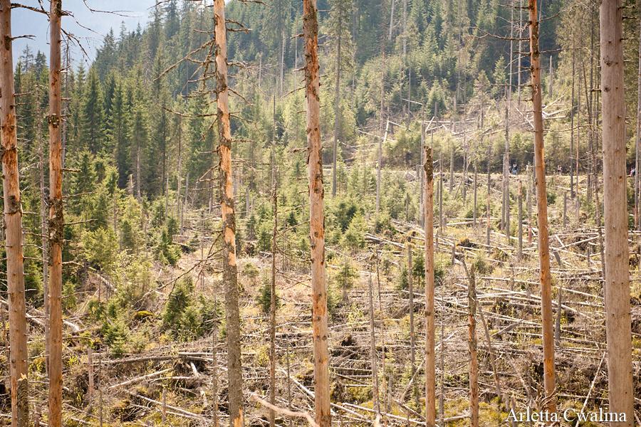 zniszczone drzewa w Tatrach