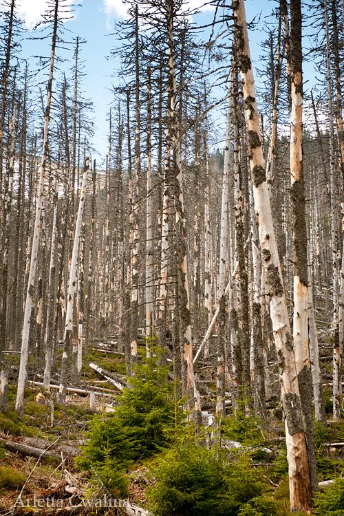 zniszczone lasy w Tatrach