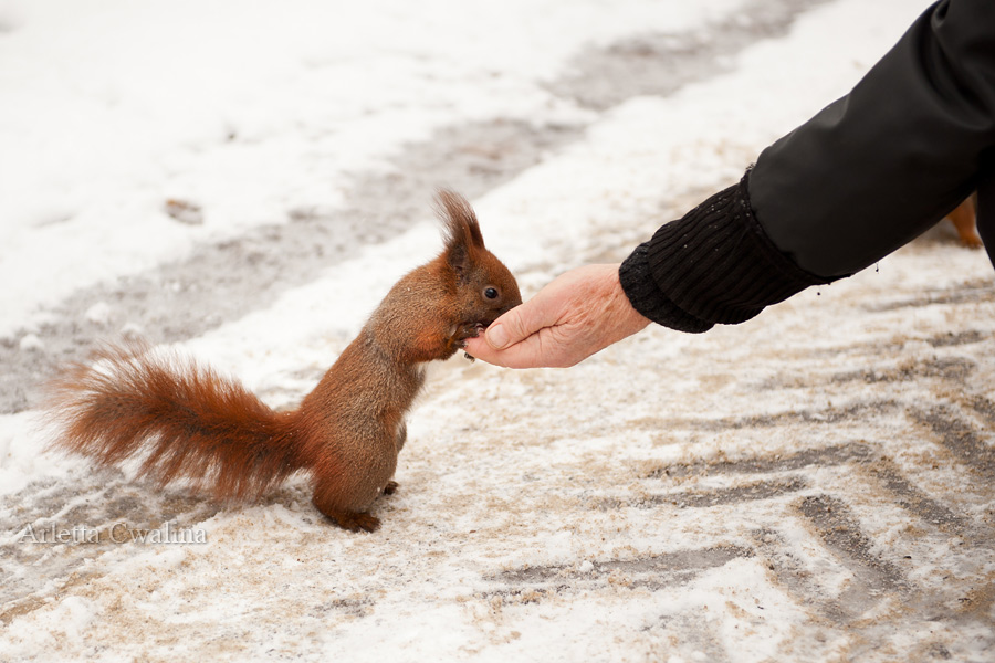 wiewiórka w parku Łazienki Królewskie