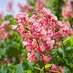 czerwony kasztan kwitnie