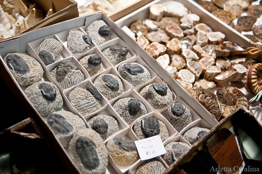 skamieniały trylobit