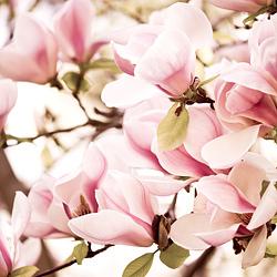 magnolie w rozkwicie
